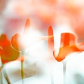 ARACEAE 2 FLOWER