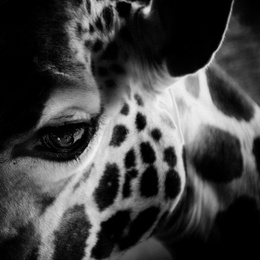 Eye of Giraffe