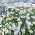 Mayweed & Corn Flowers 2
