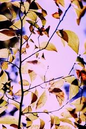 Yellow Leaf 5369