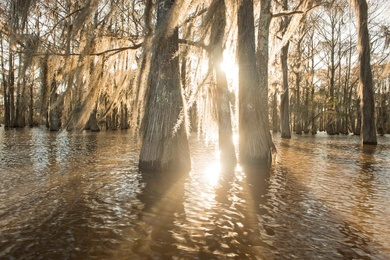 Flooded Cypress #3