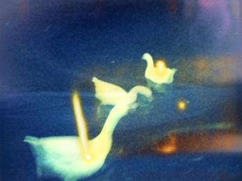 Polaroid Swans