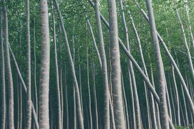 Tree Farm XXIII