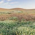 Summer Wheat #4