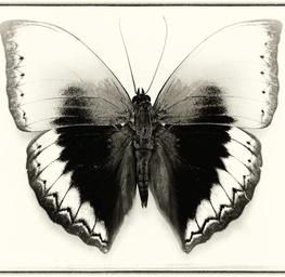 Cymothoe Hypathah
