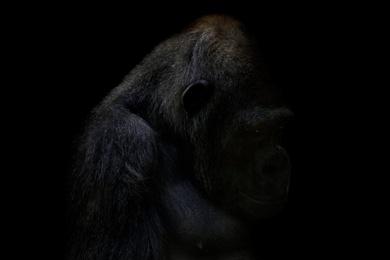 Gorilla Reminiscing