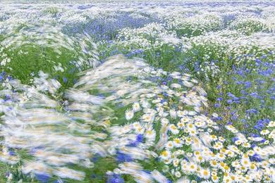 Mayweed & Corn Flowers 6