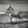 Stallion, Camargue