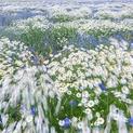 Mayweed & Corn Flowers 7