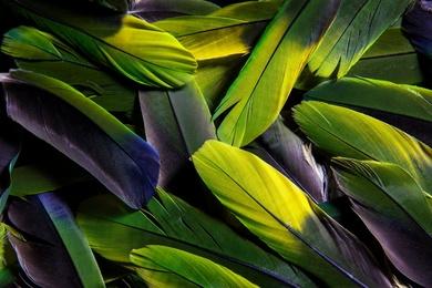 Pandemonium of Parrot Featherss II