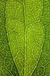 Leaf Lines V