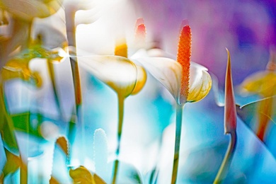 ARACEAE FLOWER 1