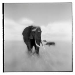 African Elephant I