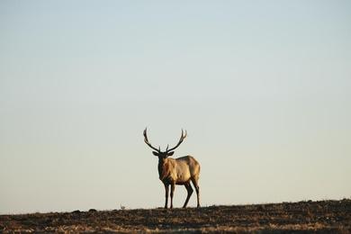 Point Reyes Elk