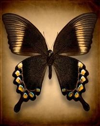 Papilio Blumei (Underside)