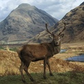 Cheeky Stag