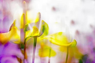 ARACEAE FLOWER 3