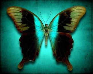 Papilio Perantilus Insulicola No. 2