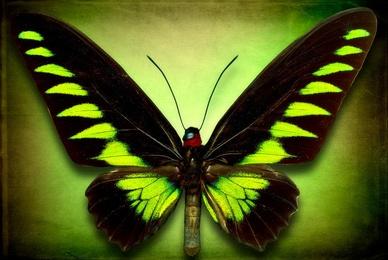Trogonoptera Brookiana Trogon