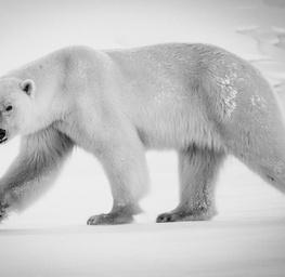 Polar Bear, Baffin Island Canada