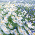 Mayweed & Corn Flowers 4