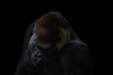 Gorilla Thoughts