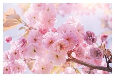 Spring Sunshine Pink Blossom