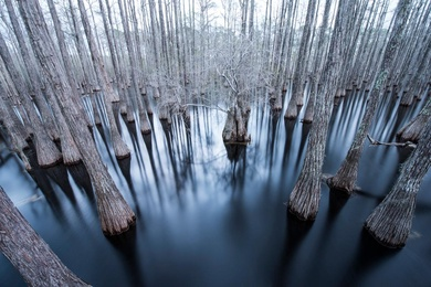 Flooded Cypress #1