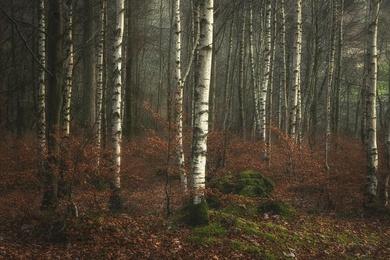 Grasmere Birch 1