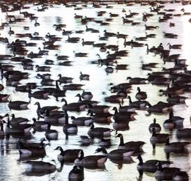 Goose Grounds