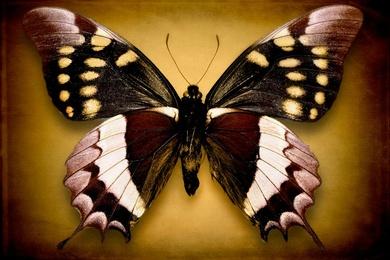 Papilio Warscewiczi (Underside)