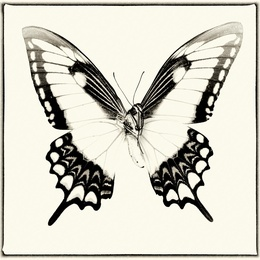 Papilio Lycophron (Underside)