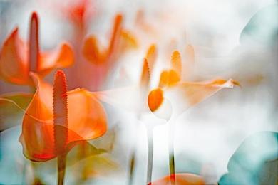 ARACEAE FLOWER 4