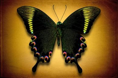 Papilio Paris (Underside)
