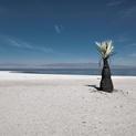 Black Palm