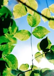 Green Leaf 5285