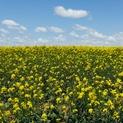 Mustard Field #4