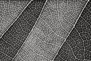 Leaf Lines III - Black and White