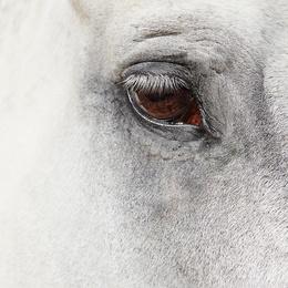 Horse Eye 01