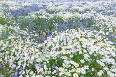 Mayweed & Corn Flowers 8