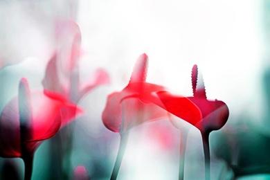 ARACEAE FLOWER 8