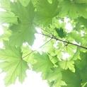 Leaves 02