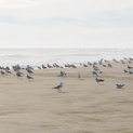 Gathering of Gulls