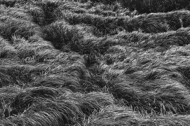 Willapa Seagrasses XV