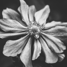 Anemone Flower Photographic Art in Black and White