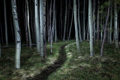 Trail Through the Birch