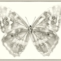 Morpho Telemachus (Underside)