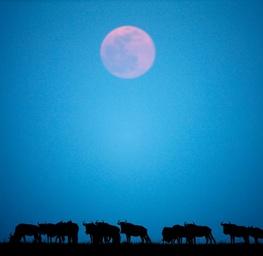 Wildebeest & Moonrise