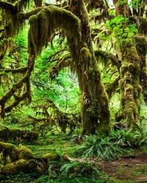 Hoh Rainforest - VI