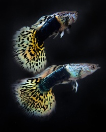 Guppies 2